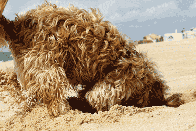Dog-Digging_ss32747458