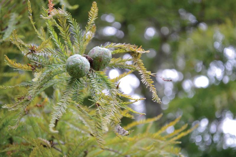 bald cypress seeds