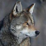 red wolves north carolina