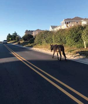 mule walking down street