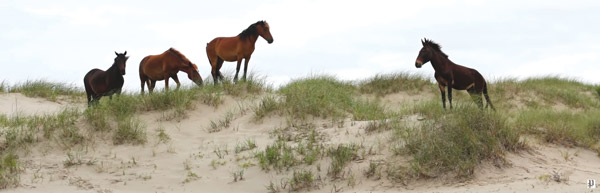 mule outer banks